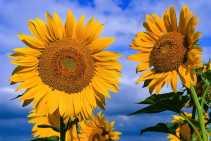 Fresh-sunflower